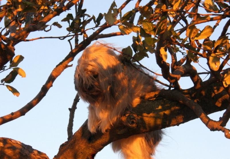 Gyan na drevesu