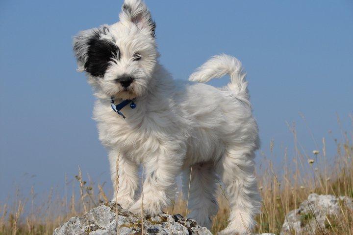 Sami puppy 2006