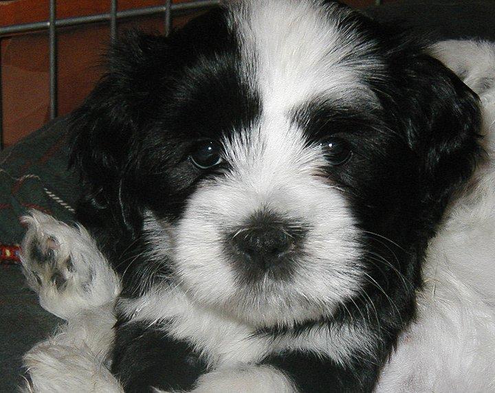 Shu puppy